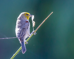 Verdin Gathering (lybrand) Tags: birds lasvegas wildlife
