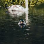 Swan snd Duck