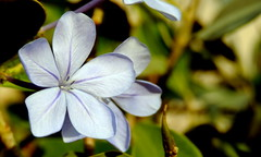 Blossom (Khaled M. K. HEGAZY) Tags: nikon coolpix p520 rassedr egypt nature outdoor closeup macro plumbago stamen pistil plant flower petal leaf leaves foliage green yellow blue brown white violet