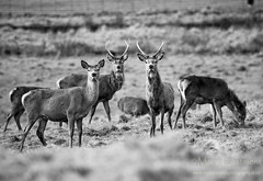 Red Deer at Ashton Court (Mark Eastment) Tags: nature animal bristol mammal stag wildlife deer britishwildlife reddeer ashtoncourt cervuselaphus