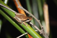 Slender Tree Frog (madfuzz1982) Tags: wildlife australia amphibian frog westernaustralia littoriaadelaidensis
