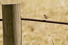 Bird on a wire . . . (GAVIN AYRE) Tags: jennywren bluewren superbbluewren 2013 stocktonsandspit canon400d gavinayre