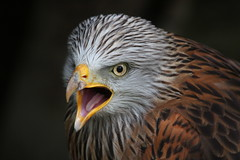 Red Kite Screaming (Explorer #26 and Frontpage) (1982Chris911 (Thank you 1.250.000 Times)) Tags: bird animal 7d birdofprey scavenger redkite birdportrait milvusmilvus rotmilan eos7d canon7d