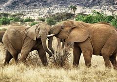 Fighting Elephants (Sallyrango) Tags: africa kenya elephants samburu africanelephants africanwildlife kenyanwildlife fightingelephants highqualityanimals samburugamepark
