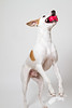 Dog and ball (Penelope Malby Photography) Tags: dog canine whippet brownandwhitedog dogandball whippetcross tanandwhitedog dogcatchingball penelopemalbyphotography