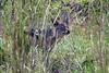 DSC_5231 (Arno Meintjes Wildlife) Tags: africa park camp wallpaper holiday color art nature animal animals closeup southafrica bush wildlife safari explore endangered animalplanet mammalia rsa krugernationalpark mpumalanga krugerpark carnivore birdwatcher excellence big5 naturelovers knp sanparks naturesfinest naturescall flickrsbest meintjes colorphotoaward arnomeintjes naturewatcher internationalgeographic naturesgreenpeace