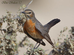 White-Throated Robin femail () Tags: white robin birds bin sultan 12 qatar femal throated   whitethroated      qatarbirds     binsultan lesnafi