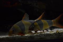 Chromobotia Macracanthus Clown Loach (Nano Second Artist) Tags: fish clown loach freshwater botia macracanthus macracantha chromobotia