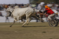Bullock-cart Race (Ajit Pal Singh) Tags: two horses people india tractor game history sports sport festival youth rural speed photo dance high construction war colorful village bullock action folk bare events traditional religion culture mini games event riding winner vehicle warrior effort indians tug olympics sikh cart tradition agriculture punjab popular schedule kila sponsor bravery agricultural daredevil stunt bhangra deliver courage gallop daring gallary implements ludhiana compete galloping quila sportsfestival footed grewal kabbadi raipur giddha kilaraipur ruralsports tractive kilaraipursportsfestival