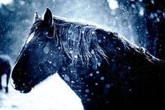 Snow Tale (moaan) Tags: horse snow cold zeiss frozen frost dof bokeh snowstorm 100mm utata aomori blizzard ze snowhorse  f20 standingstill endure ataka drivingsnow 2013 kandachime severecold  snowbokeh  canoneos5dmarkiii capeshiriya higashidorimura  carlzeissmakroplanart100mmf20ze nakroplanar