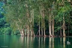 Paperbark Trees () :: Shing Mun Reservoir (), Hong Kong (hk_bellchan) Tags: bridge trees sunset summer hk moon landscape hongkong monkey steel jubilee reservoir hong kong  wan    shing afterglow  mun paperbark melaleuca       tsuen bellmouth shingmoon