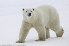 "Polar Bear in Churchill along the Hudson Bay. • <a style=""font-size:0.8em;"" href=""http://www.flickr.com/photos/92120860@N06/8454774606/"" target=""_blank"">View on Flickr</a>"