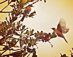 Return of the Robins (liquidnight) Tags: camera motion tree robin birds animals oregon portland fly wings movement backyard nikon berries feeding eating wildlife birding flight holly urbanwildlife perch pdx laurelhurst hungry graceful birdwatching americanrobin signsofspring turdusmigratorius d90 instagram