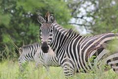 Zebras (annie in alba) Tags: