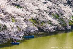 Welcome New Year / Tokyo, Japan (yameme) Tags: travel flowers nature japan canon eos tokyo  sakura cherryblossoms     chidorigafuchi   24105mmlis 5dmarkii 5d2