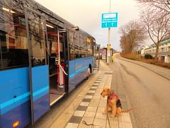 2013-0206 (schuttermajoor) Tags: nederland hond che airedaleterrier alphenaanderijn 2013 rijndeltapad