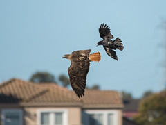 Crow vs Red Tailed Hawk (Eric Dugan) Tags: california nikon raptor crow vallejo territory redtailedhawk birdinflight d600 glencove