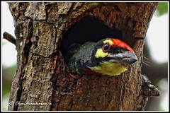 2809 -coppersmith barbet (chandrasekaran a 560k + views .Thanks to visits) Tags: india nature birds canon chennai coppersmith barbet powershotsx40hs