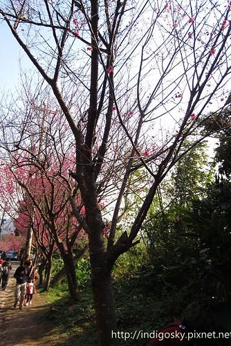 北投賞櫻-IMG_8478