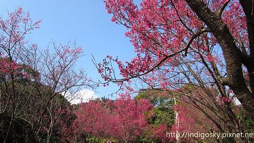 北投賞櫻-IMG_8416