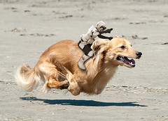 Scout Trooper on a Hover-Dachshund (Blyzz) Tags: dog beach photoshop starwars funny humor running humour shopped dachsund edit airborn scouttrooper hoverdog
