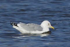 HERRING GULL - ADULT (nsxbirder) Tags: ohio adult larusargentatus herringgull caesarcreekstatepark harveysburg