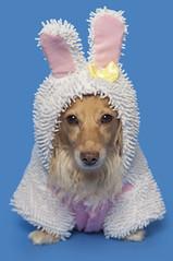Honey Bunny (Doxieone) Tags: pink dog rabbit bunny easter miniature spring nikon ears dachshund wiener bb softbox sb80dx doxie longhaired sb800 d90 strobist
