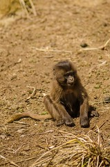 Baby Baboon (ViktorChenovsky) Tags: africa ethiopia geladababoon simiennationalpark simienmountain uploaded:by=flickrmobile flickriosapp:filter=nofilter
