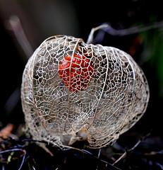 Chinese Lantern / Lampionplant / Physalis (Eric Tilman) Tags: chinese lantern physalis lampionplant