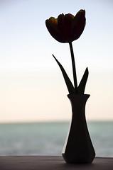 Tulipano - Toscana (ˇ Domitilla ˇ) Tags: red blur andy beautiful 50mm mare bokeh ombra finestra bianco vaso tulipano solex 18105 lightx retrox marex bluex colorx blackx vintagex macrox texturex whitex stonesx nikonx d7000 dofx sunx woodx nerox collinsx focalx domitillamancini blinkagainx pebblesx