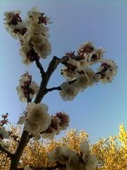 Milli Trifffa   (Jamal Elkhalladi) Tags: nature fleurs abricotier hassi milli triffa berkane maroc morocco