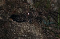 Blackish Nightjar (chlorophonia) Tags: birds animals ecuador zamora animalia vertebrates nightjars caprimulgidae zamorachinchipe blackishnightjar caprimulgusnigrescens nyctipolusnigrescens