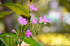 Wildflowers  ( Nana) Tags: life flowers light plant green love beautiful backlight nikon colorful taiwan wildflowers lovely  simple oxalis  wildgrass  taiwan  bokehlicious  d7000 amazingdetails