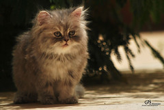 Cat9661 (31) (Cat9661) Tags: animals cat حيوانات مون قطط هاف بسة فيس شيرازي بيكي بساس هملايا
