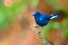 .~ White-tailed Blue Robin ~. (Fu-yi) Tags: white color cute bird birds minolta bokeh sony taiwan 328 300mm  taichung lovely alpha dslr  tones      formosan    familyturdidae cinclidiumleucurum     dasyueshan whitetailedbluerobin bestcapturesaoi elitegalleryaoi photographyforrecreation