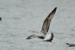 Caspian gull / Larus cachinnans / Pontische meeuw 2cy (Herman Bouman) Tags: bird gull meeuw vogel caspiangull laruscachinnans 2cy pontischemeeuw
