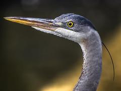 Great Blue Heron (Jouko van der Kruijssen) Tags: sanfrancisco california bird wildlife olympus sutrobaths 50200mm zuiko greatblueheron e5