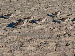 N3051789R3 Florida (studiod_baltico1) Tags: city beach florida naples sandpipers semipalmated