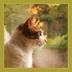 Bruno (No_Water) Tags: white cute cat tiger bruno cokin a163