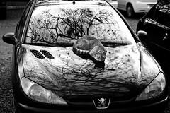 Staring. (felipedallavalle) Tags: blackandwhite tree look car cat eyes olhar arte artistic olhos gato carro fotografia arvore staring pretoebranco