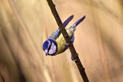 DS0D2300-Blue-Tit (duncancooke.happydayz) Tags: blue birds garden moss tit tits leighton