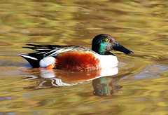 Northern Shoveler 03/15/13 (VinCar927) Tags: arizona birds riparianranchatwaterpreserve