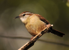 Wren (ShacklefordPhotoArt) Tags: bird nature wildlife wren avian carolinawren thryothorusludovicianus backyardbirds montgomeryalabama