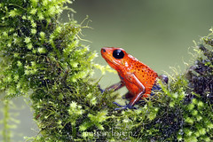 Ranita Roja (Megan Lorenz) Tags: travel red wild macro nature closeup rainforest costarica vibrant wildlife amphibian 100mm frog bluejeans poisondartfrog centralamerica sarapiqui dartfrog 2013 bluejeansfrog strawberrypoisondartfrog mlorenz meganlorenz photocontesttnc13