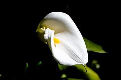 calla (8mariaelena) Tags: flowers italy sun white flower green primavera nature yellow garden photography spring nikon colours calla details fiori colori bianco marzo giardino abruzzo 2013