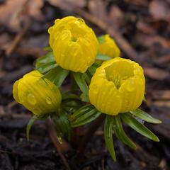 Yellow Aconite (Jackie & Dennis) Tags: wintergarden nationaltrust dunhammassey aconite eranthishyemalis