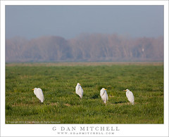 Egret Quartet (G Dan Mitchell) Tags: california county new morning trees winter usa white green nature grass birds fog america print four wildlife great north stock central merced national pasture valley license late egret sanjoaquin refuge quartet