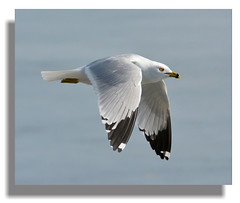 Ring Bill Fly-By (vidterry) Tags: gull ringbilledgull 400mm iso500 nikkor80400mmvr gullinflight wbauto ev23 nikond7100 abovecedarlake rememberthatmomentlevel1 rememberthatmomentlevel2 rememberthatmomentlevel3 multipointaf 12500thf56