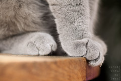 . (light thru my lens) Tags: cat kitten soft nail fluffy claw gato patas paws suave gat britishshorthair potes susu esponjoso ua pelut zarpa thecheshirecat suau ungla urpa bimbothecat esponjs