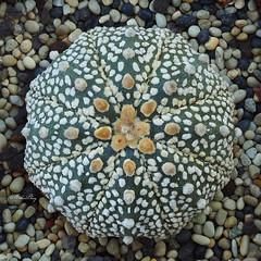 Super Kabuto (methosphang) Tags: cactus cacti succulent kabuto astrophytum asterias superkabuto astrophytumasterias seaurchincactus sanddollarcactus starpeyote